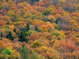 Forêt mixte. Crédit photo : wikipédia